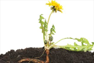 Dandelion Roots Could Transform the Rubber Industry image