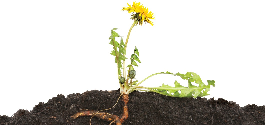 dandelion roots could transform the rubber industry inchemistry