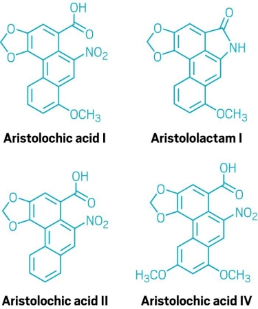 Aristolochic acid I is metabolized and reacts to make carcinogenic DNA adducts containing aristolactam I. Aristolochic acids II and IV are also common in Aristolochia clematitis, but their toxicity is less understood.