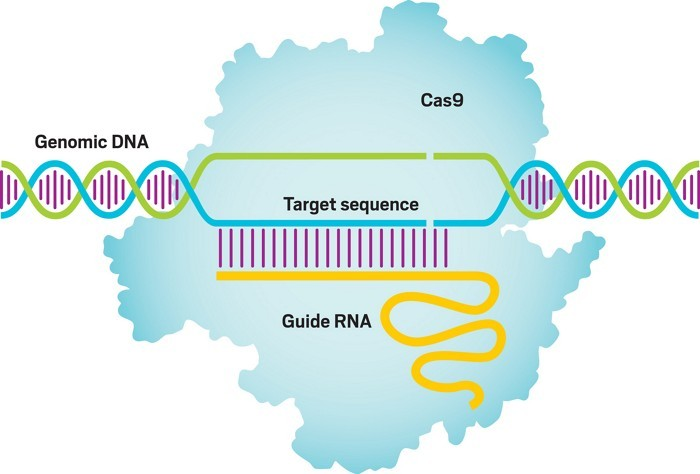 CRISPR gene editing is derived from a primordial immune system in bacteria called clustered regularly interspaced short palindromic repeats. The synthetic guide RNA created by Charpentier and Doudna, which is complementary to a target DNA sequence, directs the Cas9 enzyme (light blue) to a specified location for DNA cutting. Some applications require an additional DNA template (not shown) to fill in the cut.