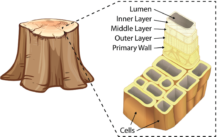 tree-cell-walls