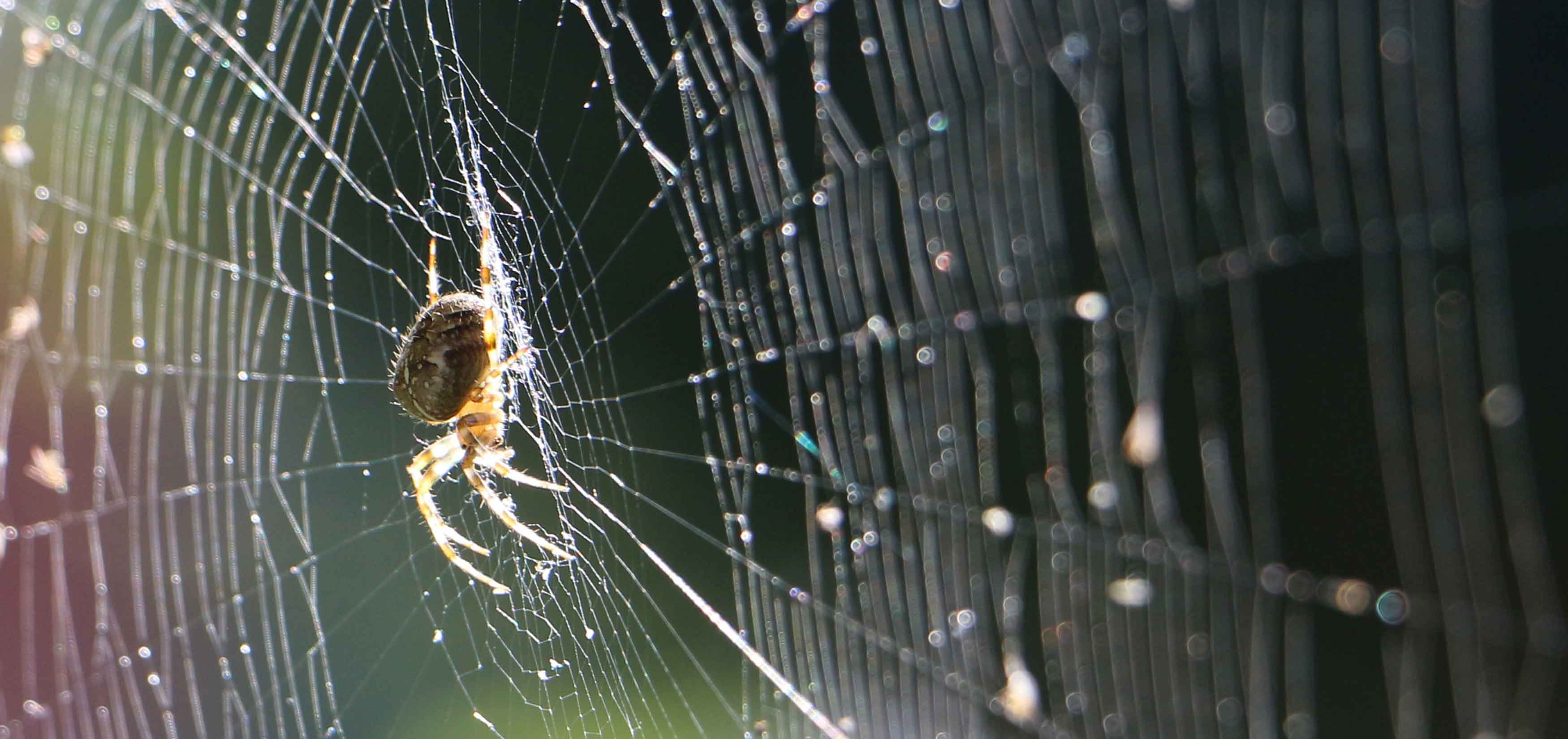 Spiders Seem To Be Getting More >> The Steel Strength Of Featherweight Spider Silk Inchemistry