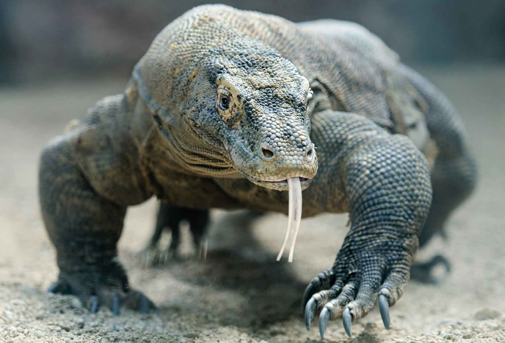 Komodo Dragon Blood Could Fight Antibiotic-Resistant Bacteria image