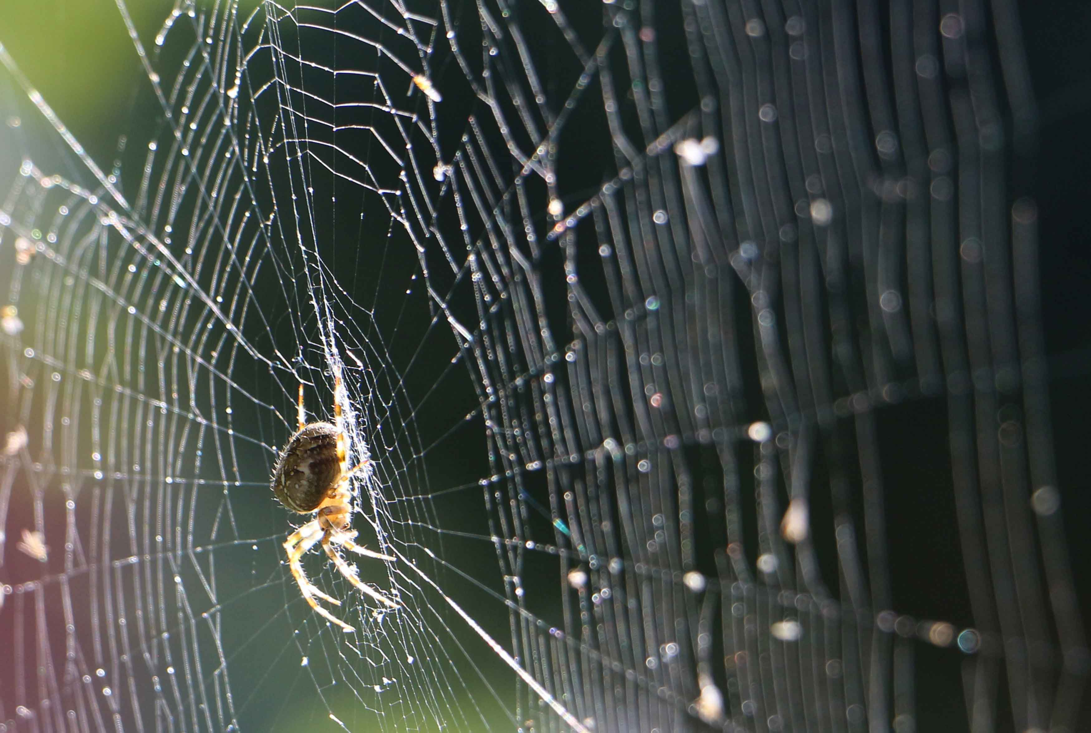 The Steel Strength of Featherweight Spider Silk image